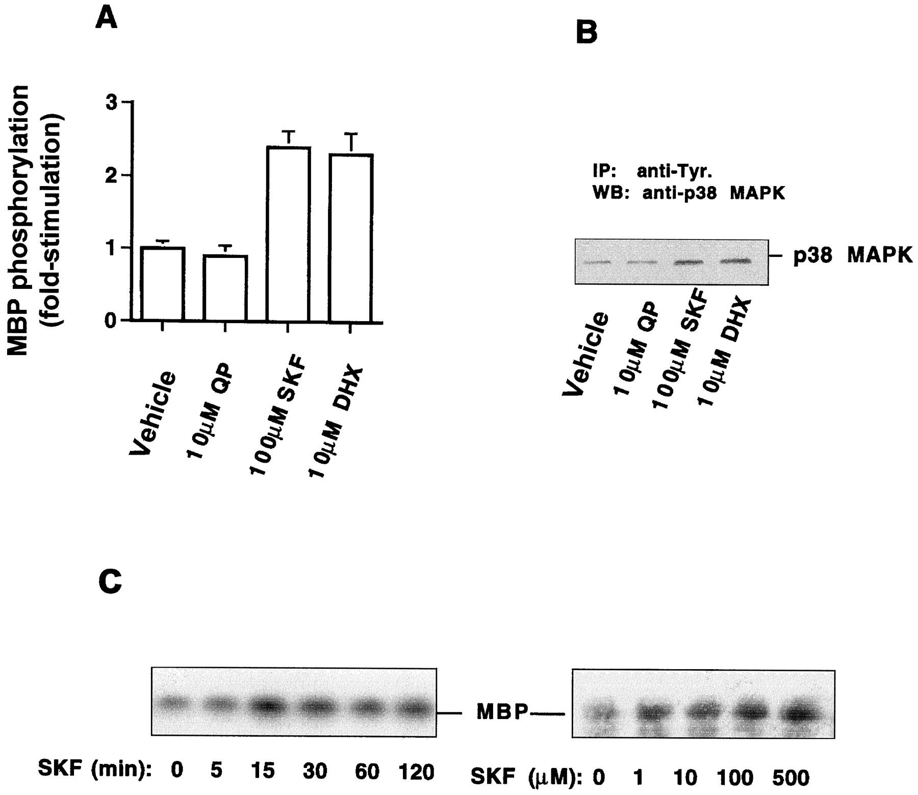 D1 Dopamine Receptor Agonists Mediate Activation of p38 Mitogen