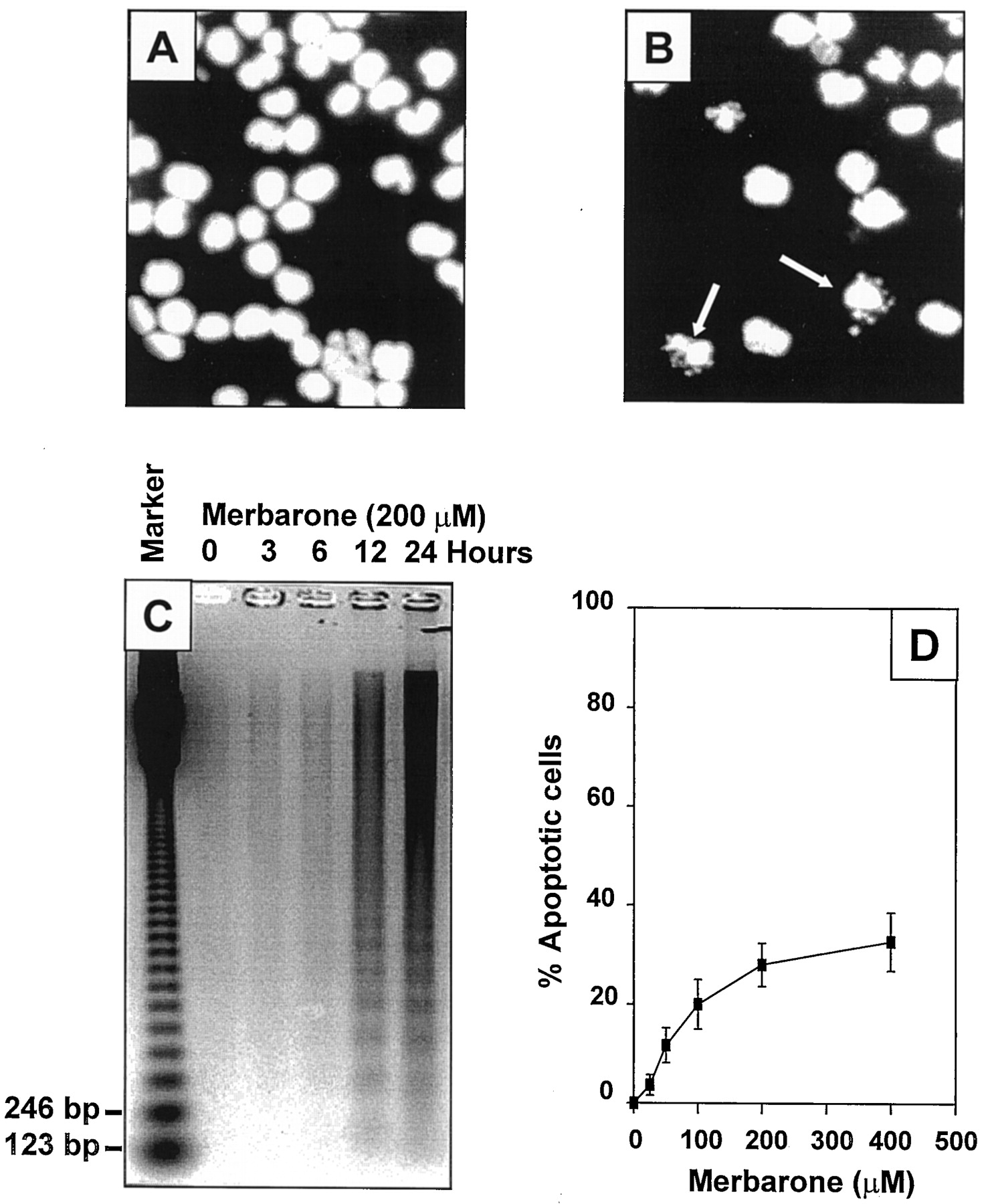 Merbarone, a Catalytic Inhibitor of DNA Topoisomerase II, Induces ...