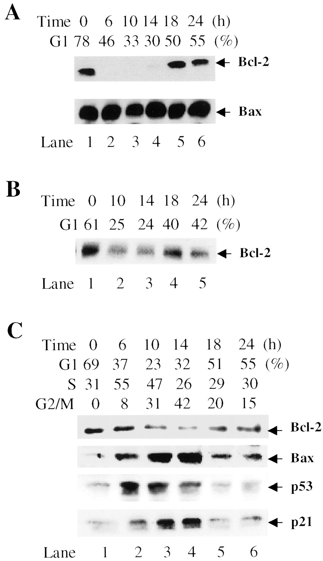 g1 phase dependent expression of bcl 2 mrna and protein correlates