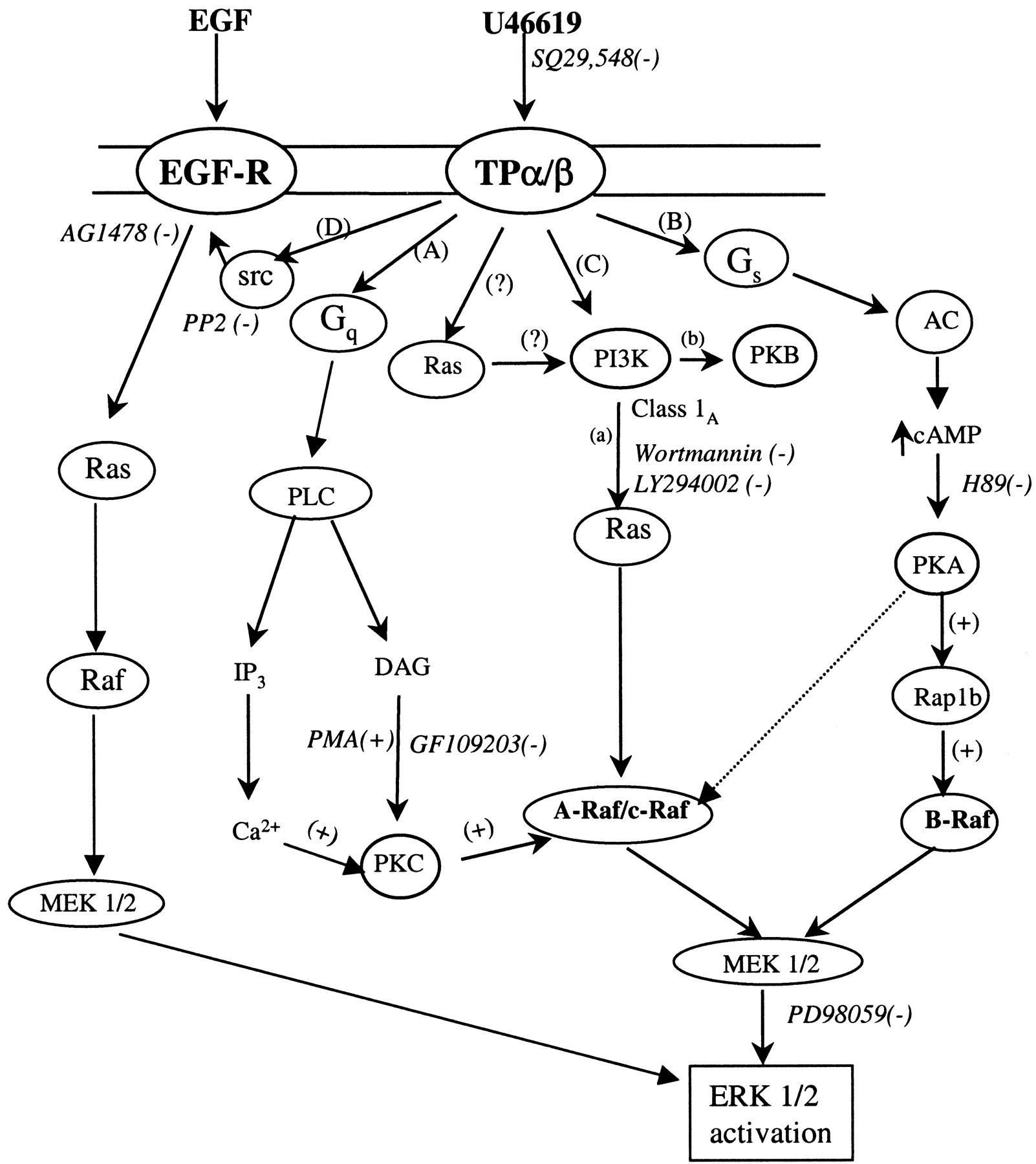 Ashton Guitar Wiring Diagram Database Regulation Of Extracellular Signal Regulated Kinase Cascades By Strat