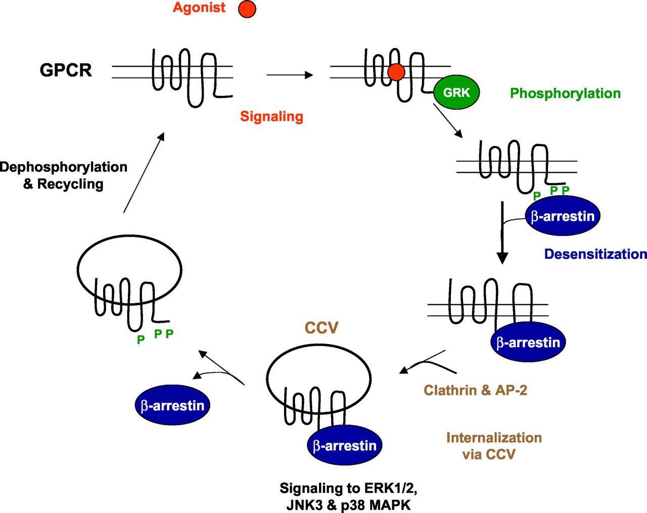 Arrestin-Independent Internalization of G Protein-Coupled ...
