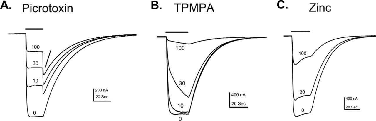Picrotoxin Accelerates Relaxation Of Gabac Receptors Molecular