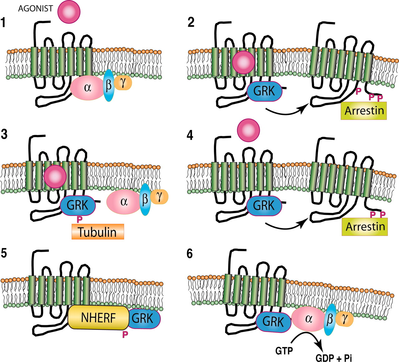 Novel Features Of G Protein-Coupled Receptor Kinase 4