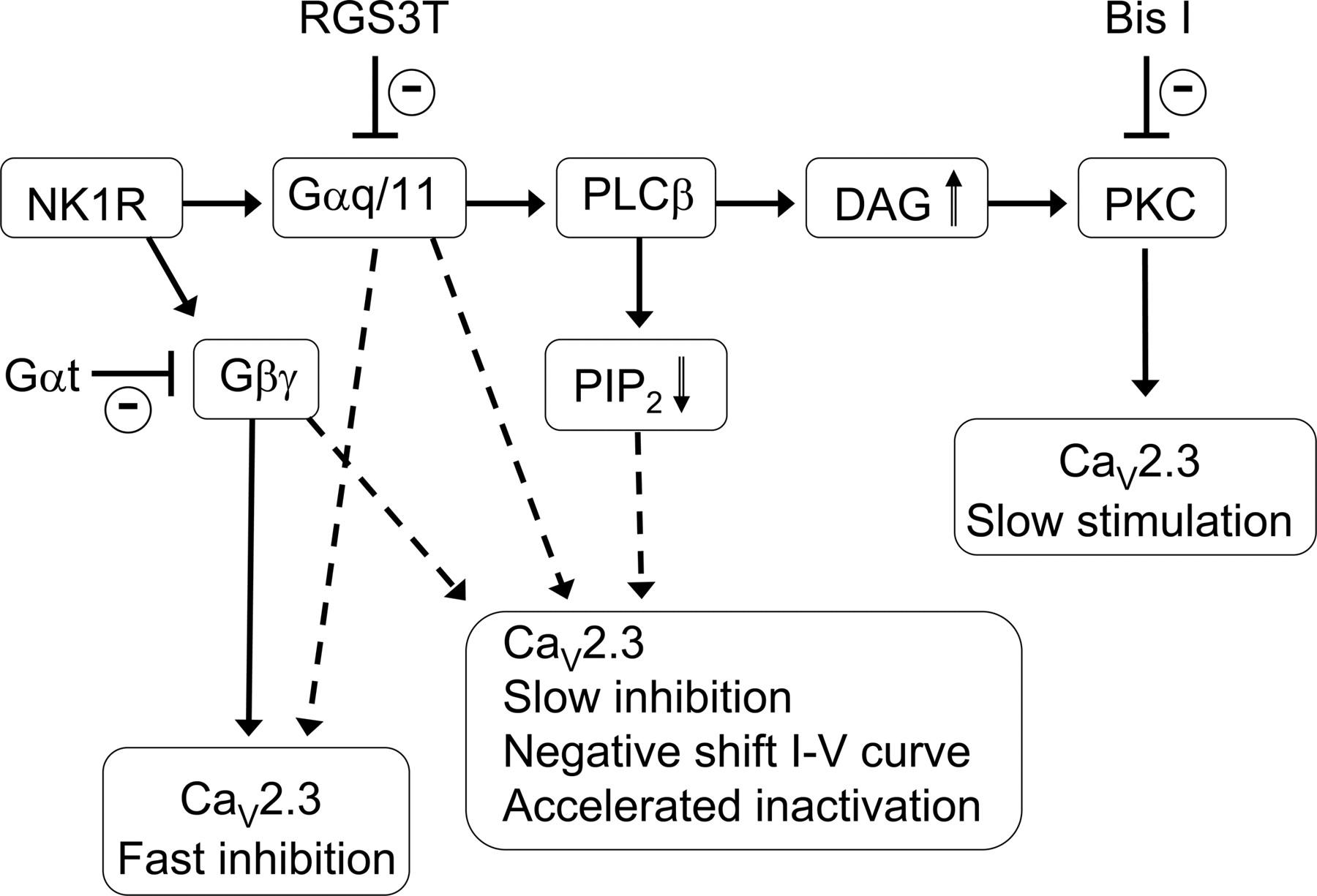 Neurokinin 1 Receptors Trigger Overlapping Stimulation And Pentium 3 Block Diagram Download Figure