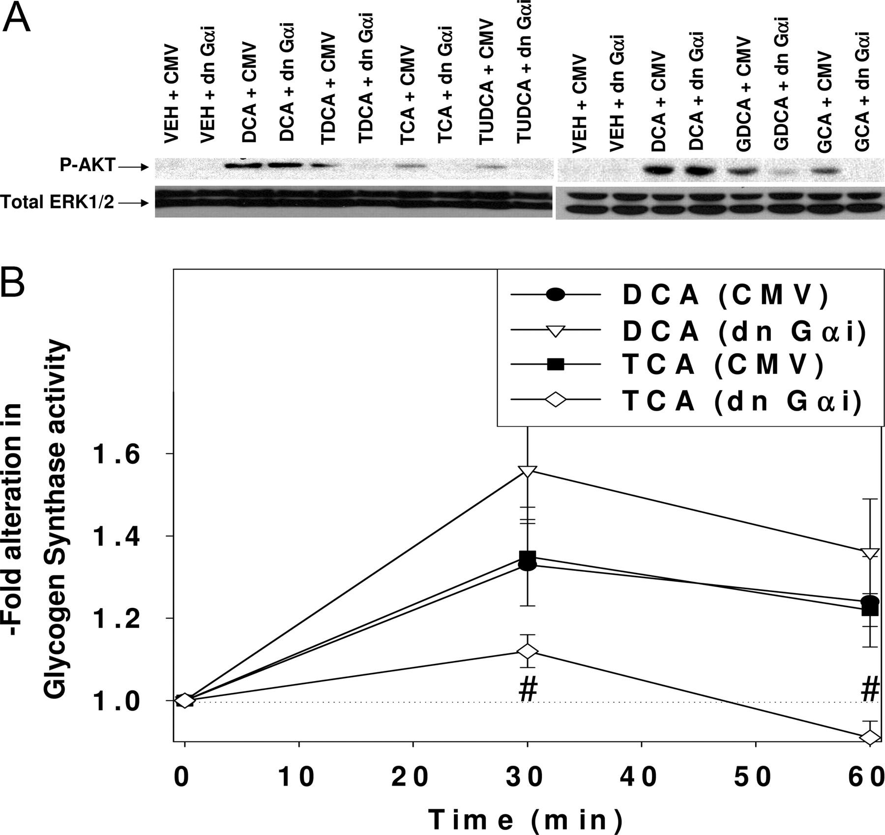 Conjugated Bile Acids Regulate Hepatocyte Glycogen Synthase