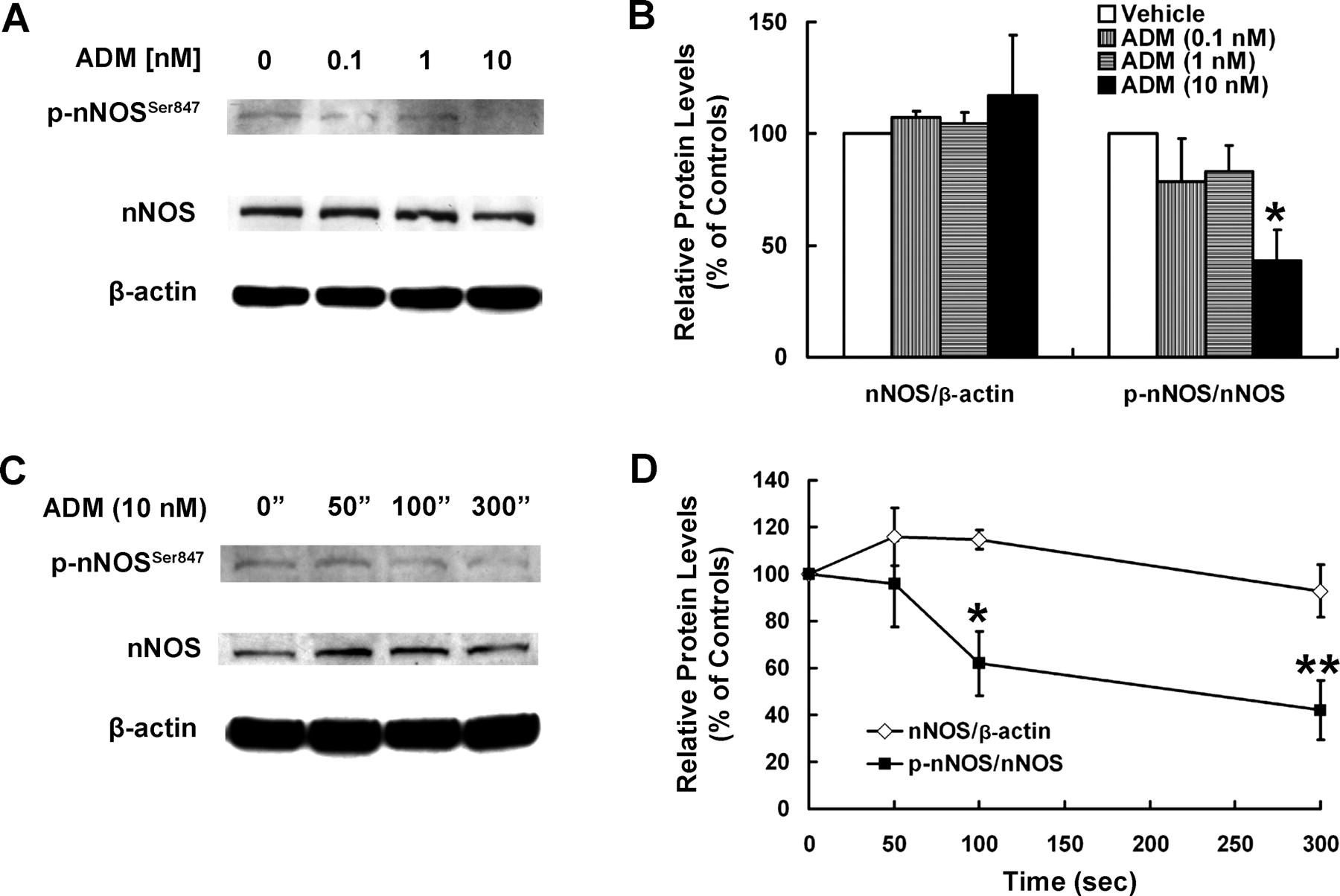 Adrenomedullin Stimulates Nitric Oxide Production from