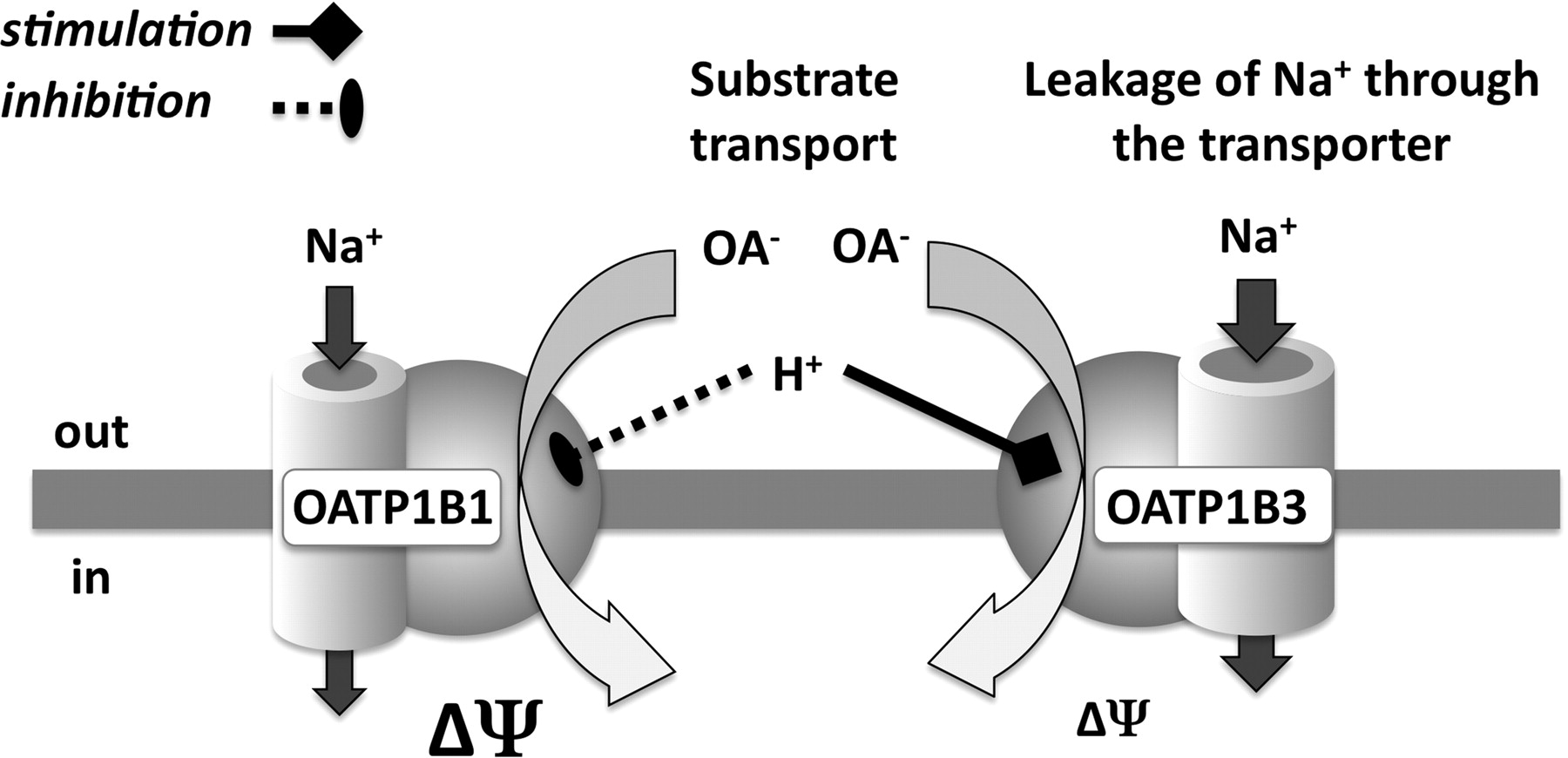interaction of human organic anion transporters Abstract the liver-specific organic anion transporting polypeptides oatp1b1 and oatp1b3 are highly homologous and share numerous substrates however, at low concentrations oatp1b1 shows substrate selectivity for estrone-3-sulfate.