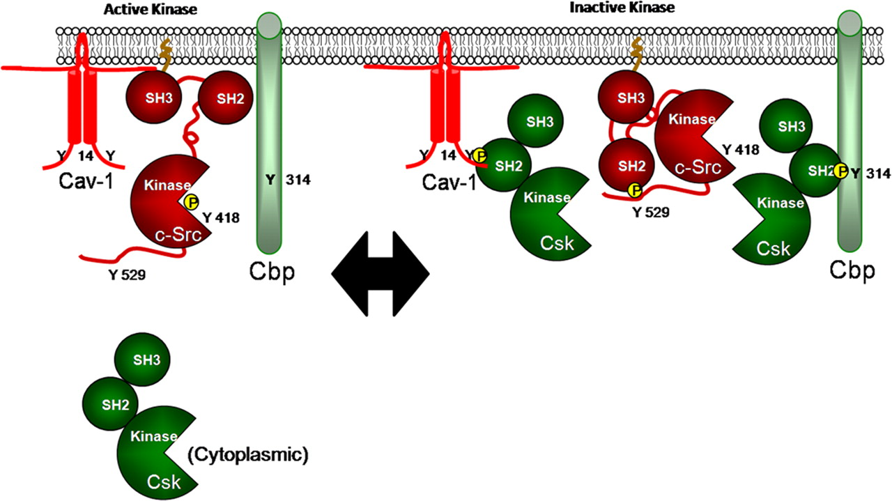 Cooperative Role of Caveolin-1 and C-Terminal Src Kinase