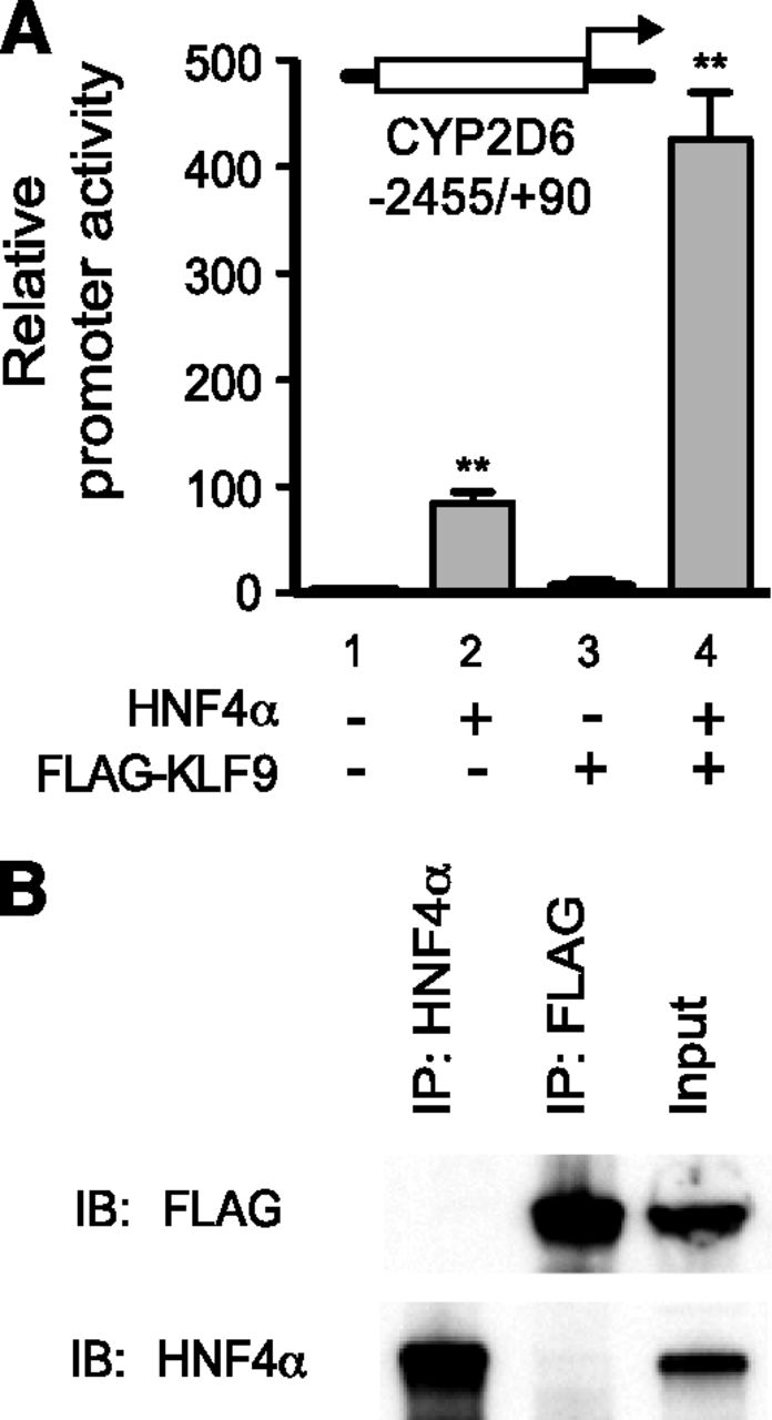 Krüppel-Like Factor 9 Promotes Hepatic Cytochrome P450 2D6