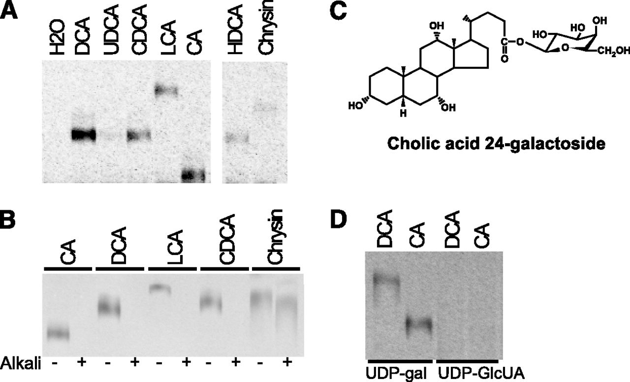 A Novel Function For Udp Glycosyltransferase 8 Galactosidation Of