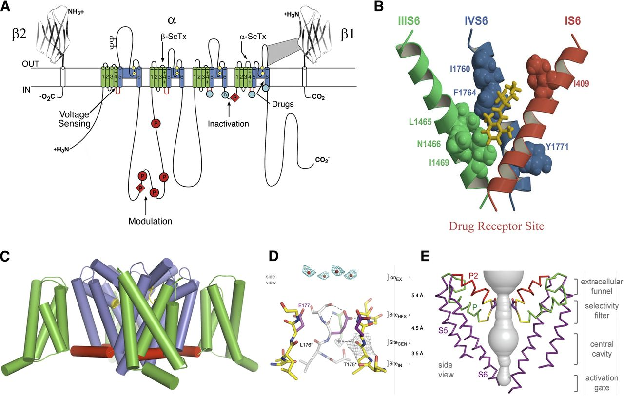Structural Basis for Pharmacology of Voltage-Gated Sodium