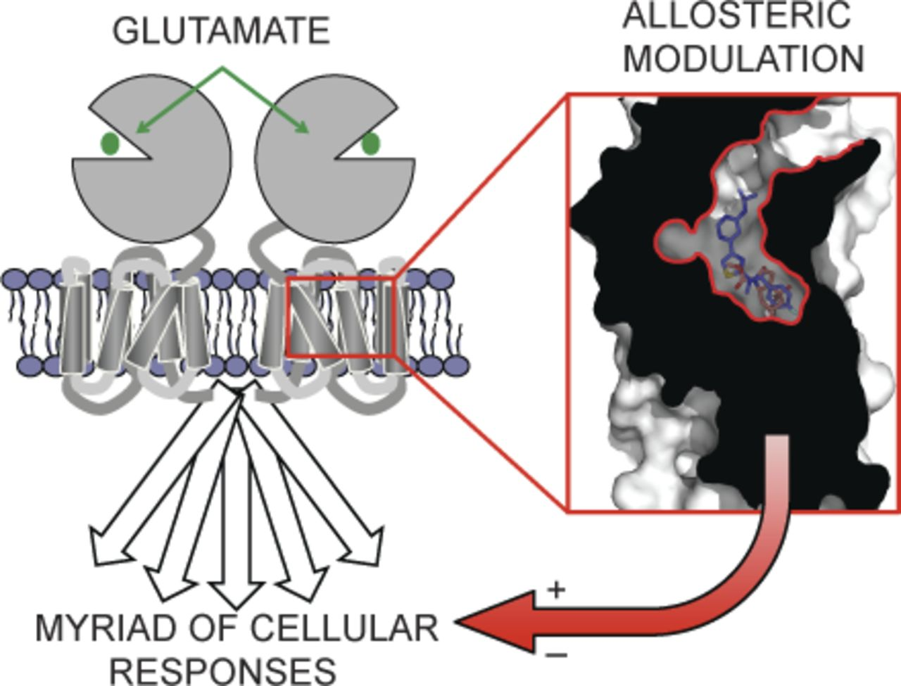 Molecular Insights Into Metabotropic Glutamate Receptor Allosteric Wiring Diagram Lowe 165 Fm Download Figure