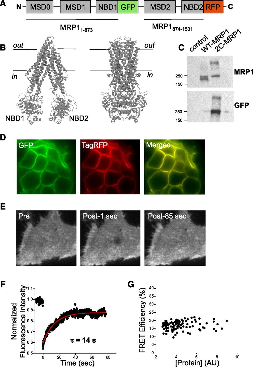 Atpbinding Cassette Transporter Structure Changes Detected By Amino 2000 150 Tabs Download Figure Open In New Tab