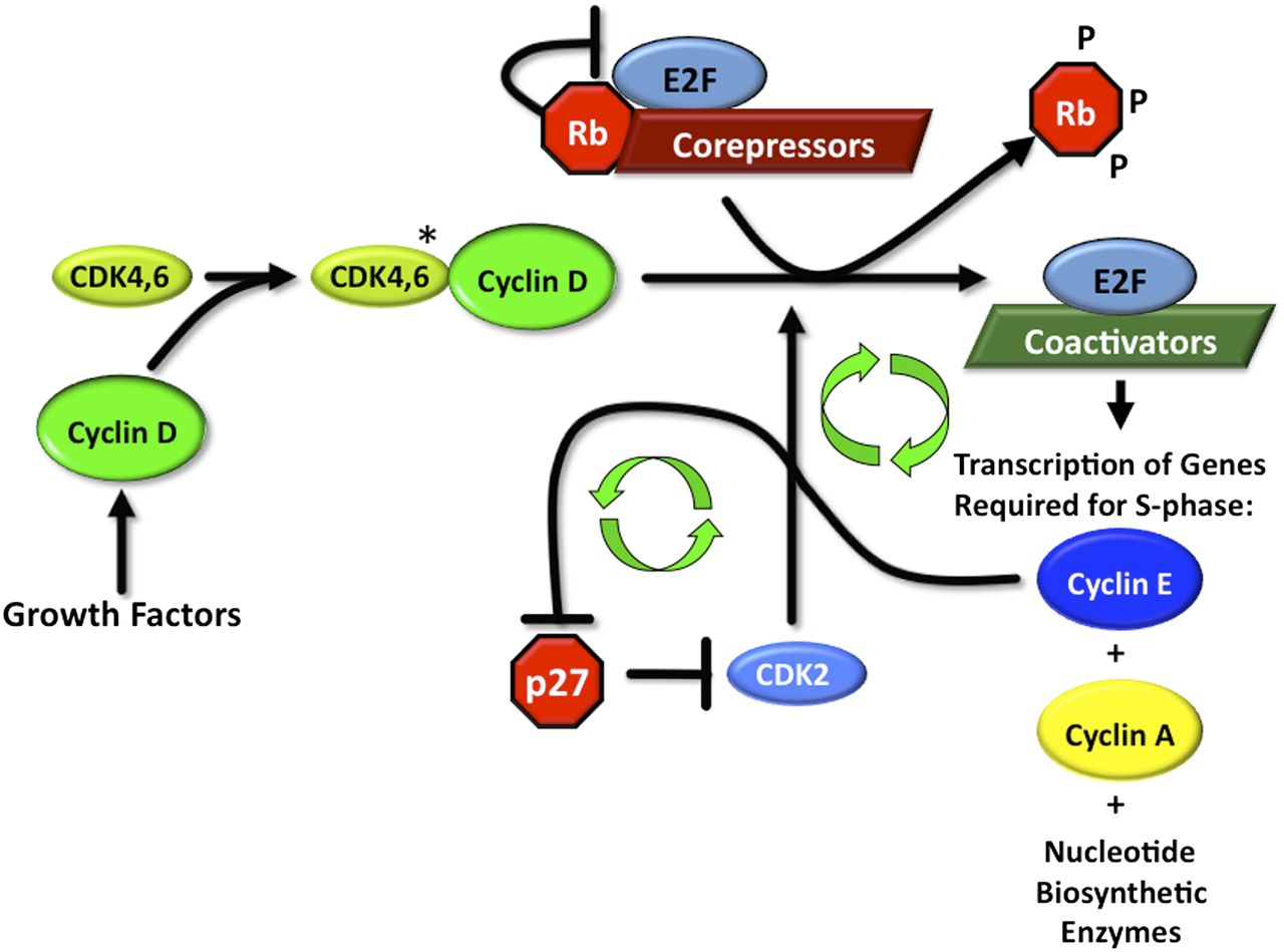 Cyclin-Dependent Kinase Inhibitors as Anticancer Therapeutics | Molecular Pharmacology