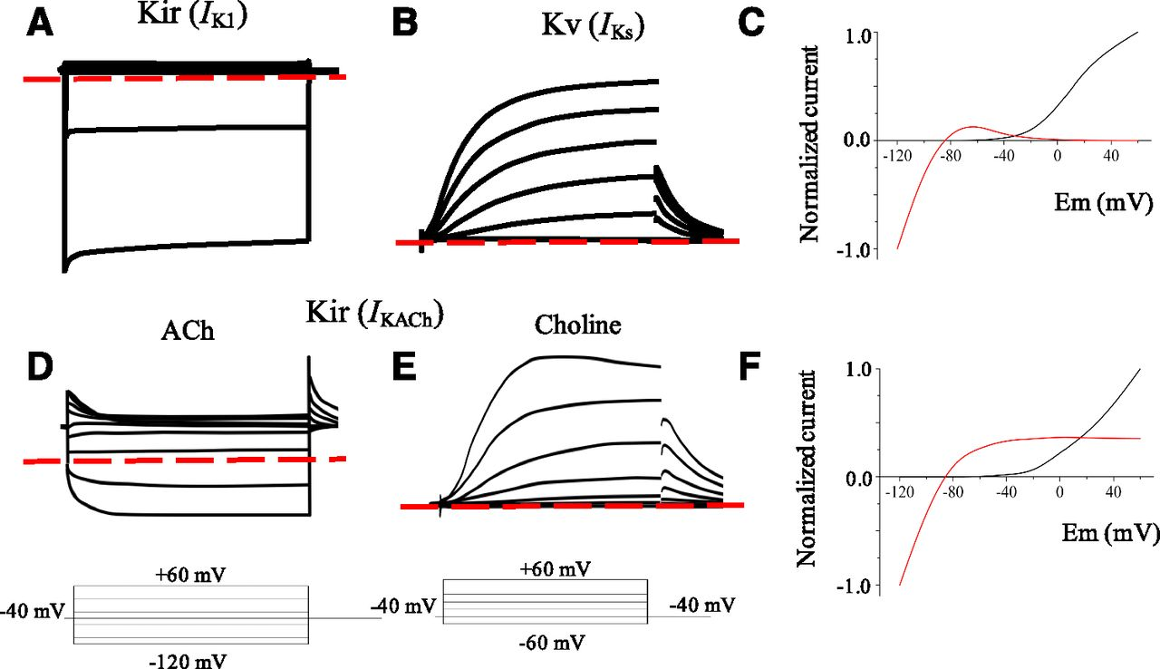 pharmacological conversion of a cardiac inward rectifier