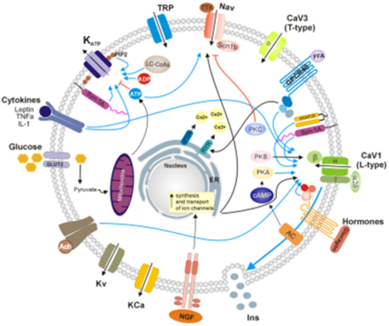 Modulation Of Ionic Channels And Insulin Secretion By Drugs And