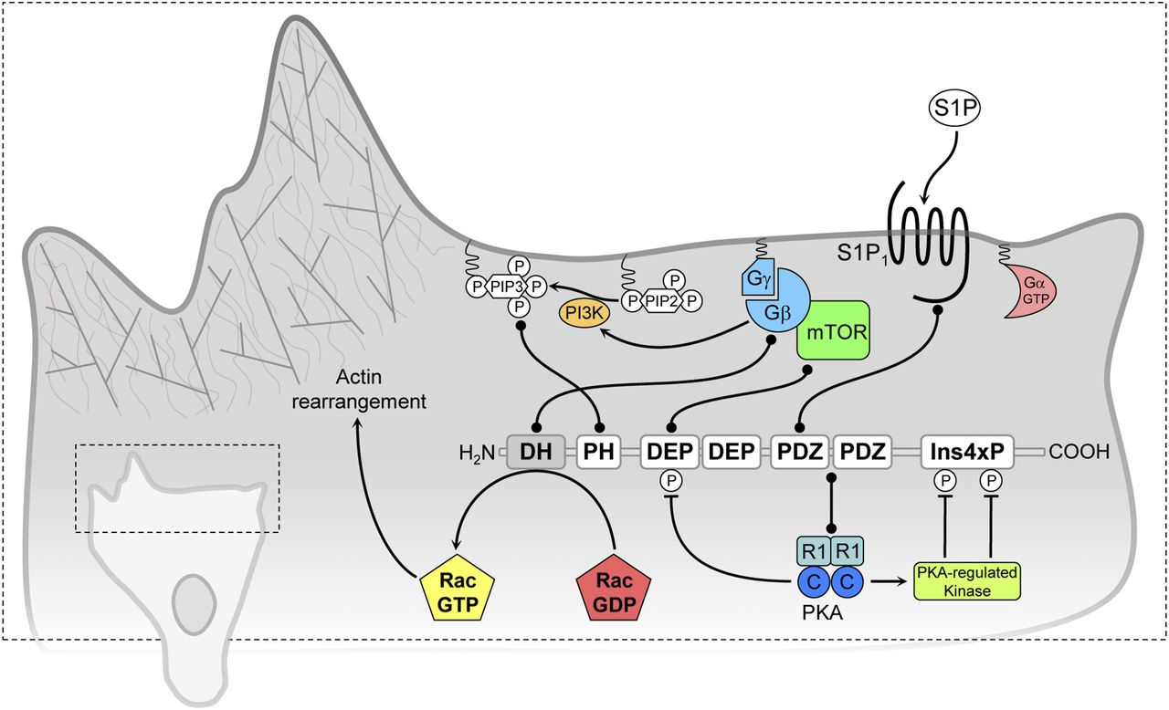 Gβγ Pathways in Cell Polarity and Migration Linked to