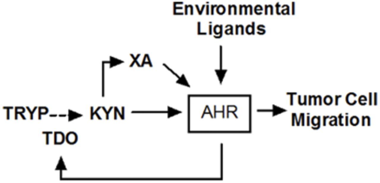 An Aryl Hydrocarbon Receptor-Mediated Amplification Loop