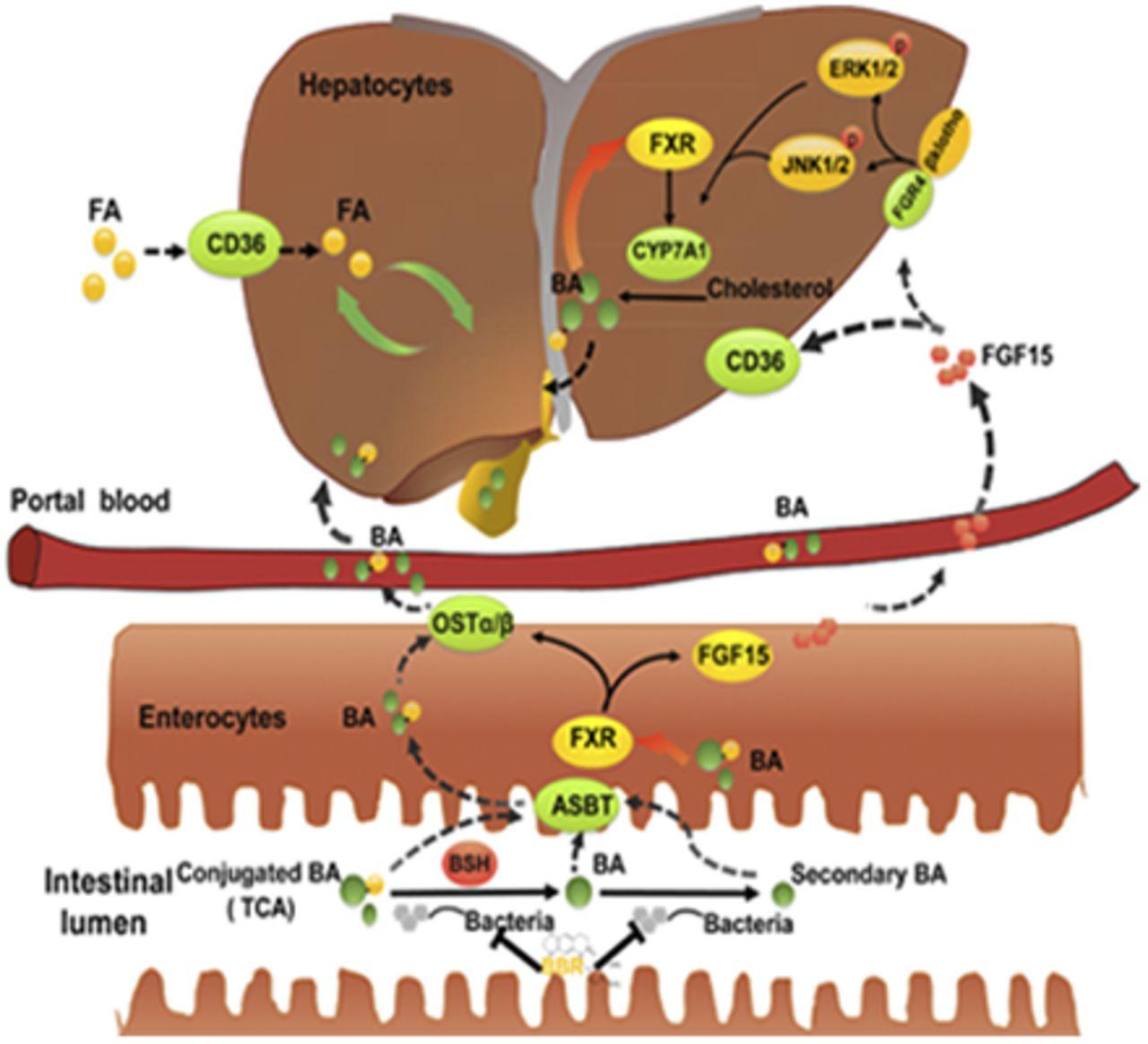 Orally Administered Berberine Modulates Hepatic Lipid