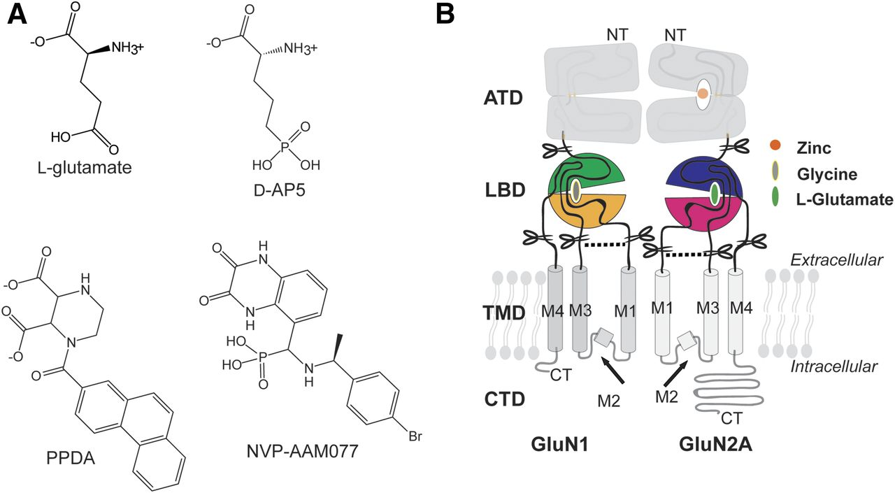 Novel Mode Of Antagonist Binding In Nmda Receptors Revealed By The