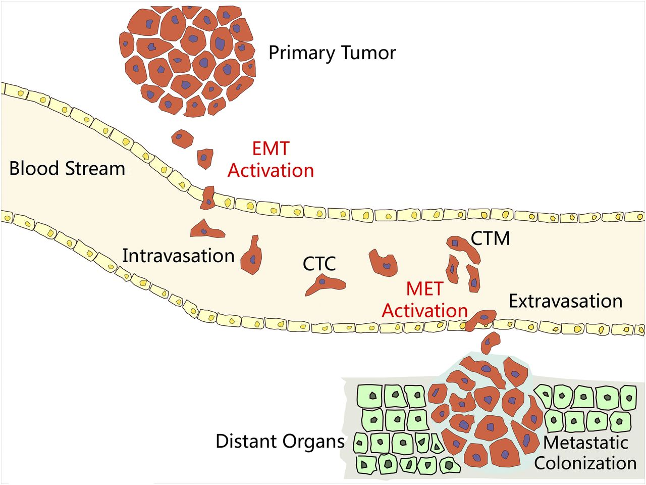 Clinical Applications of Circulating Tumor Cells in