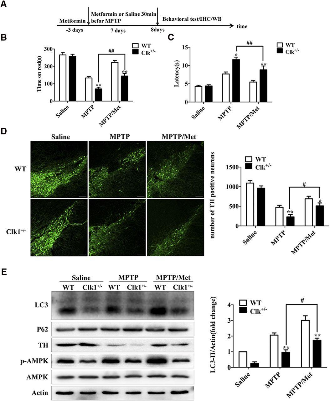 Activation of AMPKmTORC1Mediated Autophagy by Metformin