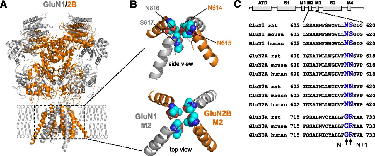 Properties Of Triheteromeric N Methyl D Aspartate Receptors Containing Two Distinct Glun1 Isoforms Molecular