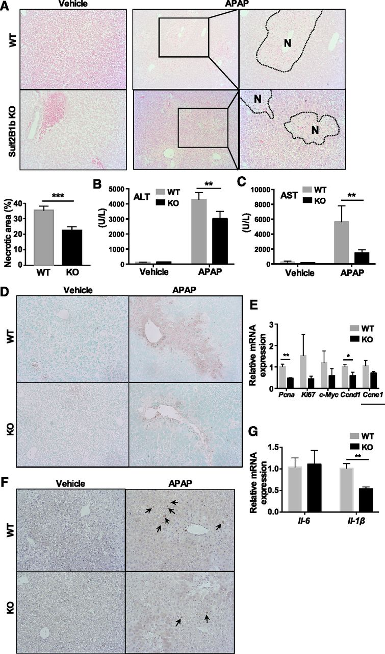 An Unexpected Role of Cholesterol Sulfotransferase and its
